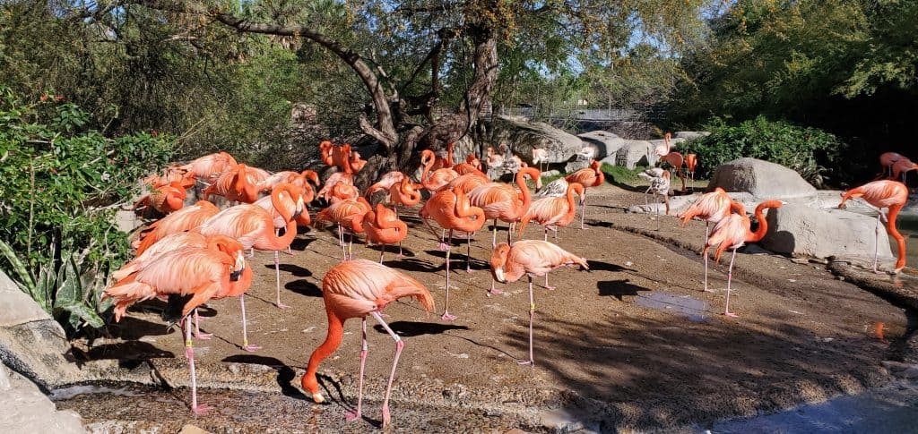 flamingos at gladys porter zoo brownsville texas in winter