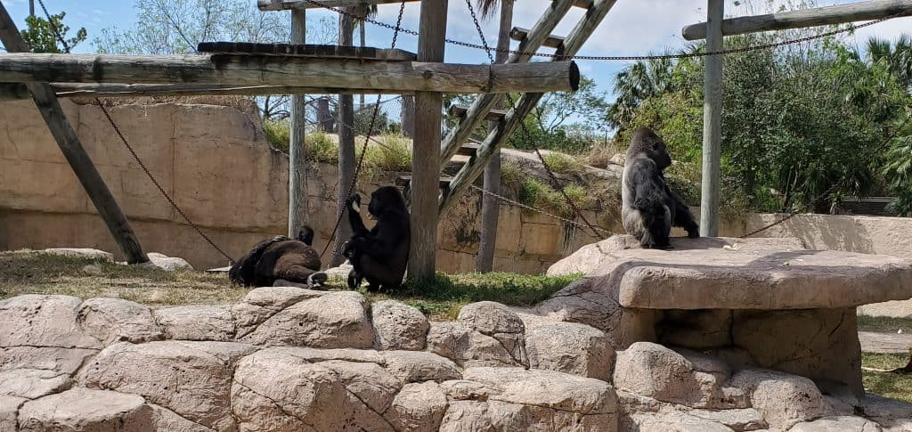 gorillas at gladys porter zoo in brownsville texas in winter