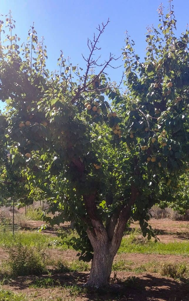 apricot tree at lee's ferry in glen canyon national recreation area near page arizona
