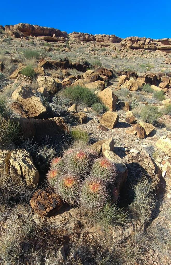 barrel cactus in bloom near page arizona