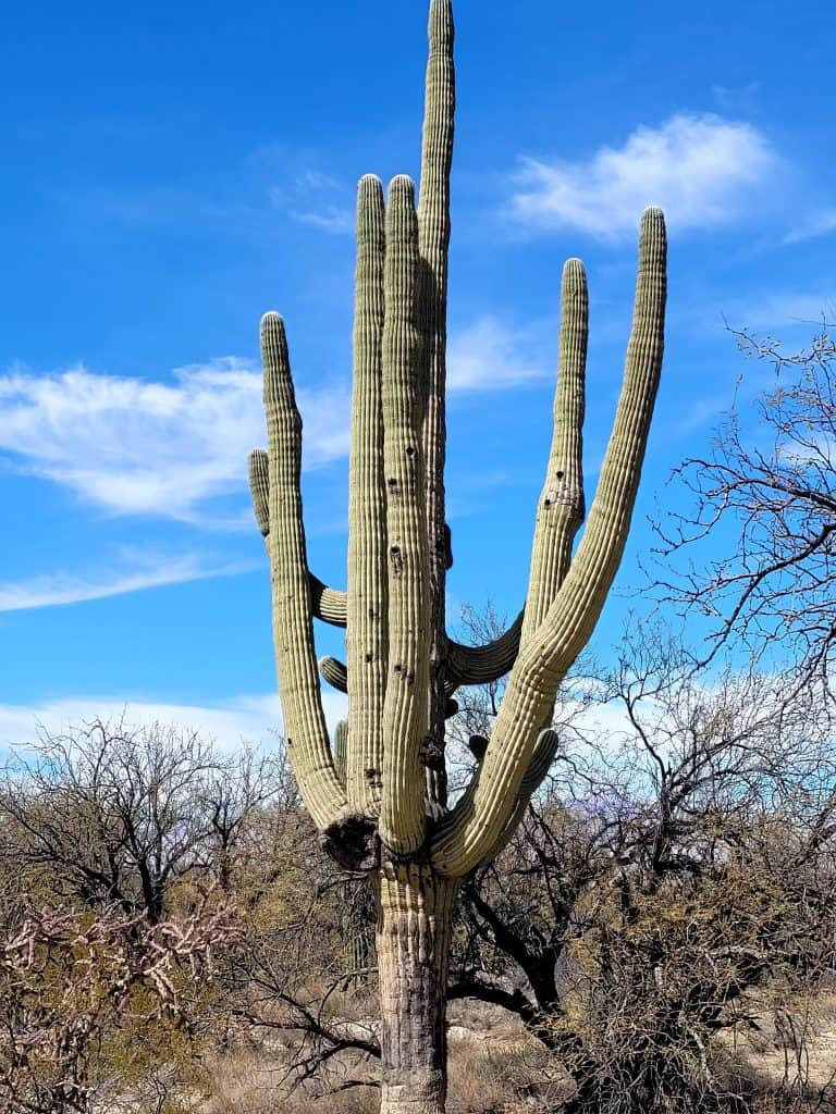 old saguaro with many arms