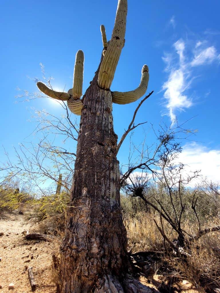 aged bark on saguaro