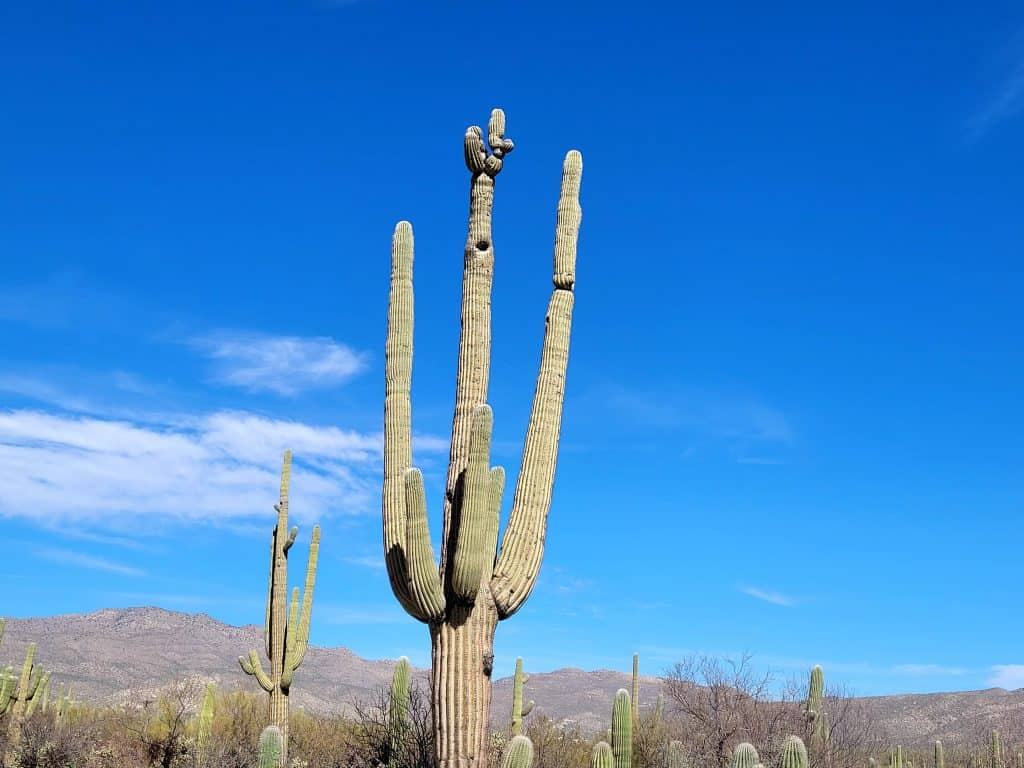 hole in saguaro cactus created by woodpecker