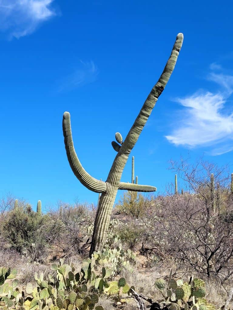 leaning saguaro