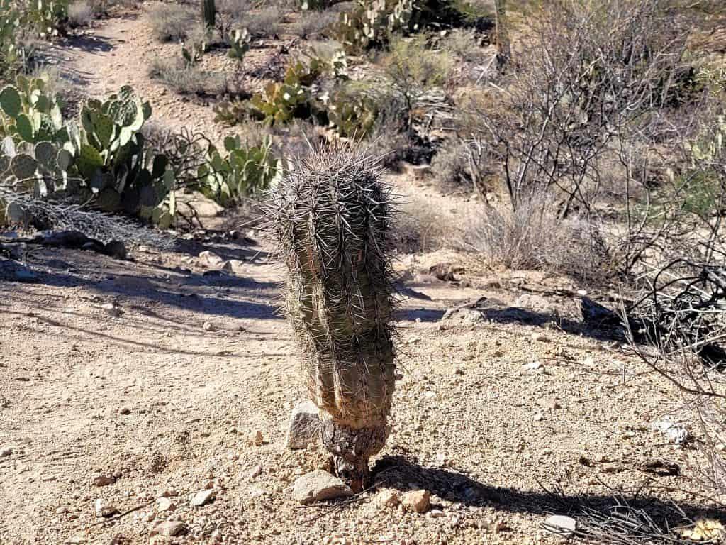 young saguaro at saguaro national park