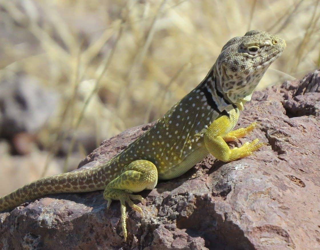 green lizard in new mexico