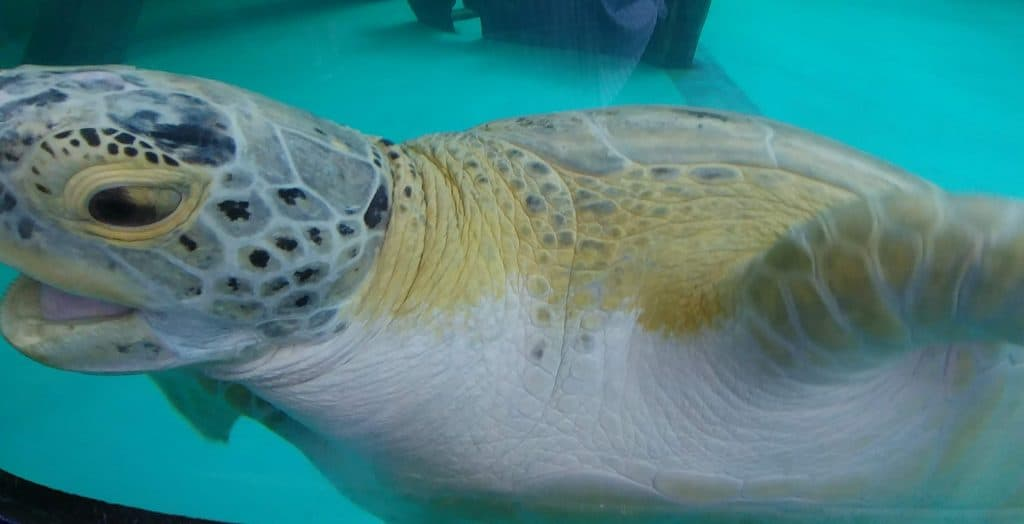 turtle close up at sea turtle inc in south padre island