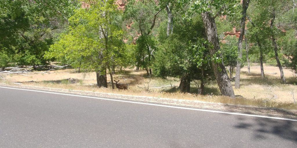 deer along scenic drive in zion national park