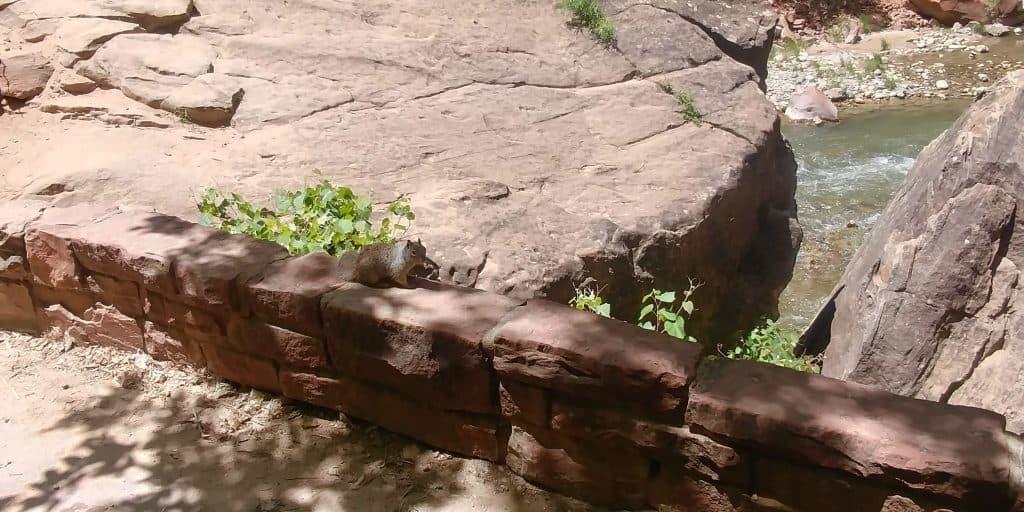 squirrel along riverside trail in zion