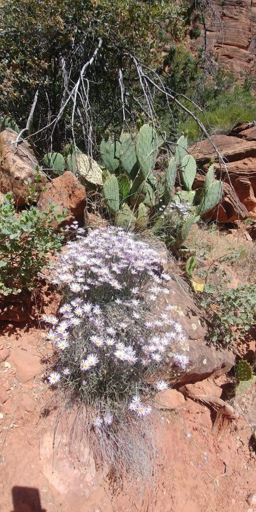 purple wildflowers and prickly pear in zion national park