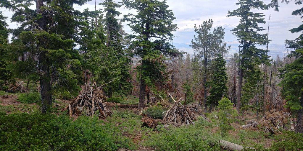 piles of wood on bristlecone trail