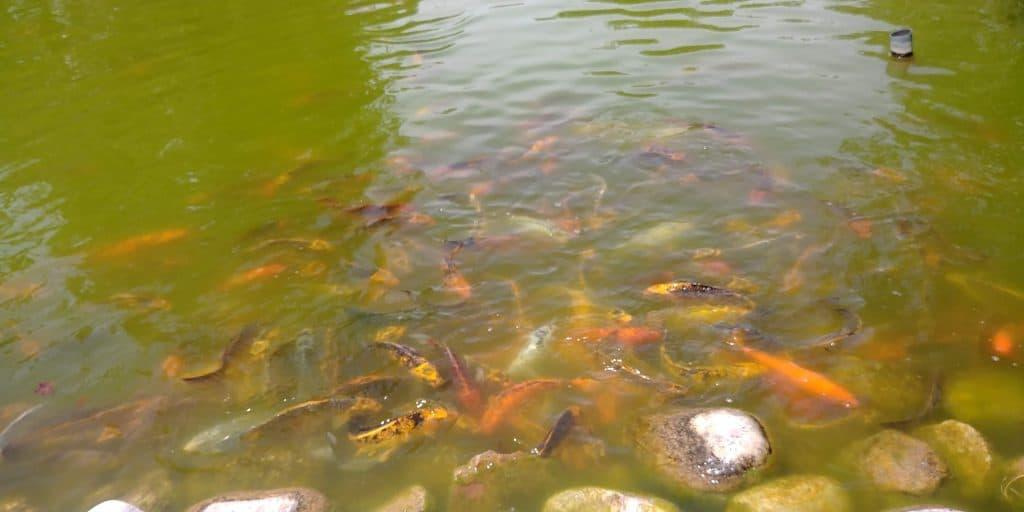 koi pond at museum of curiosity in lehi utah