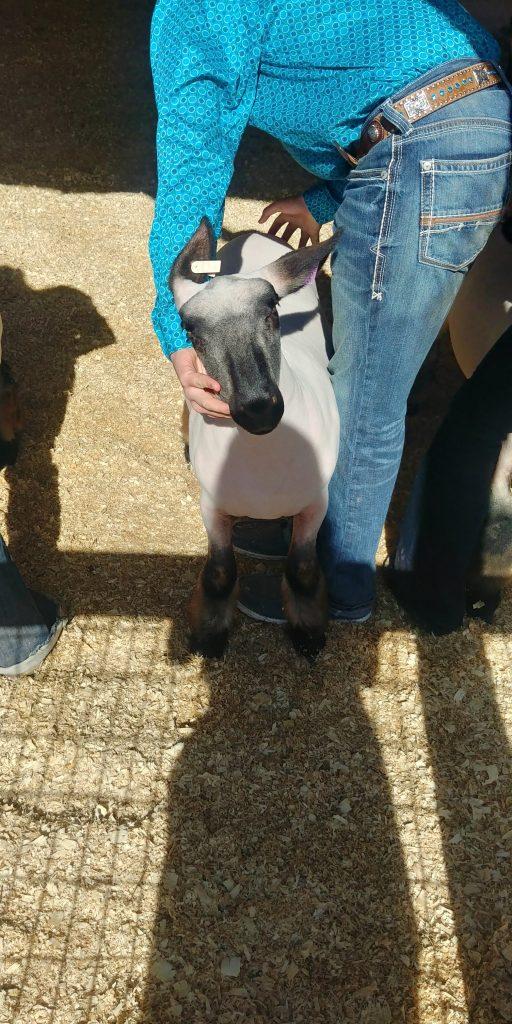 lamb at youth livestock show