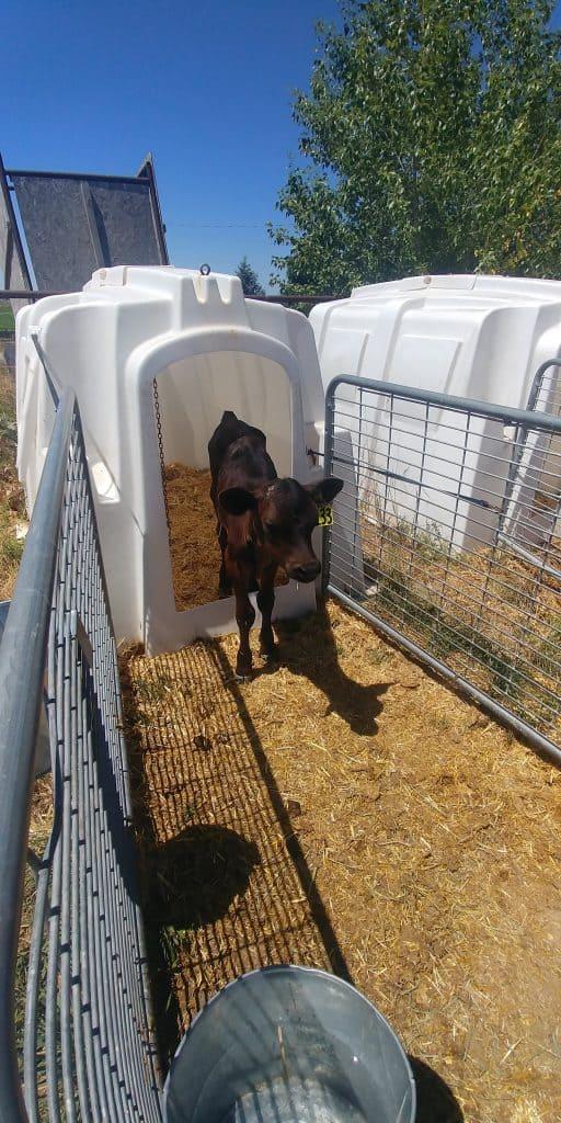 baby cow at ballard dairy farm in gooding idaho