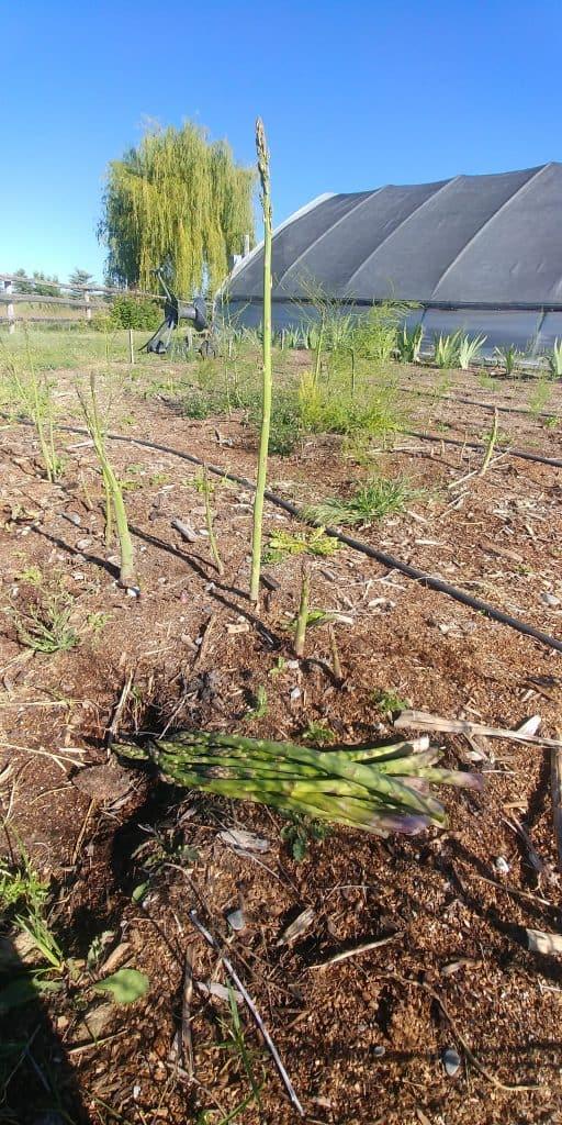fresh cut asparagus