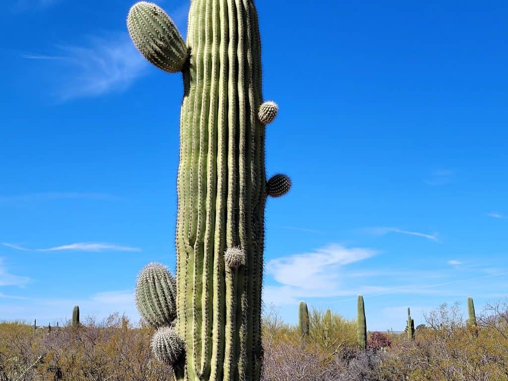 saguaro with little arms starting to grow