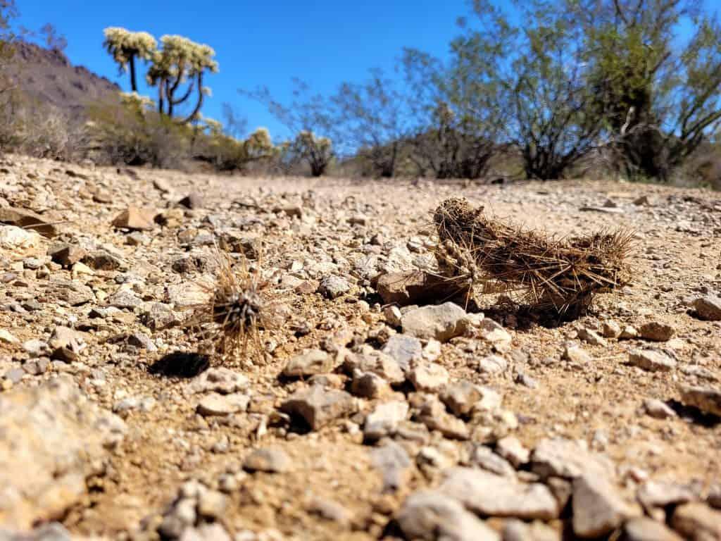 cholla cactus on trail at tucson mountain park