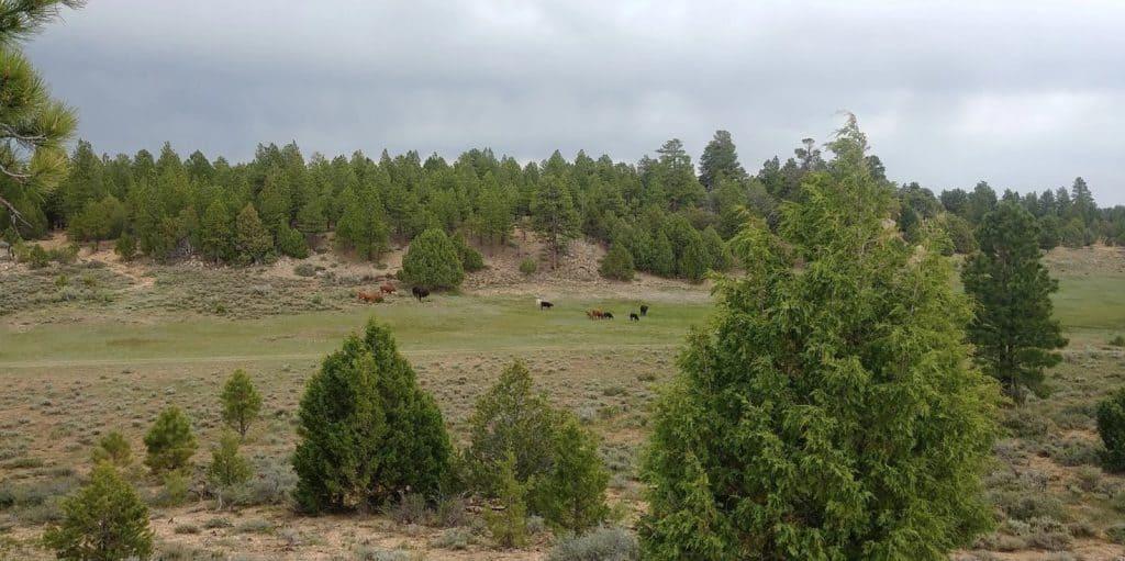 cows in pasture in utah