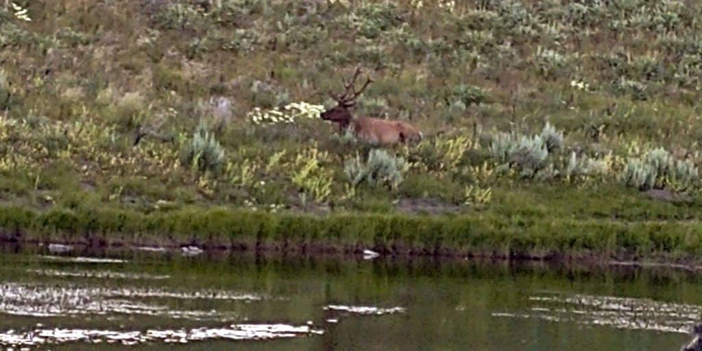 river elk spotting in yellowstone