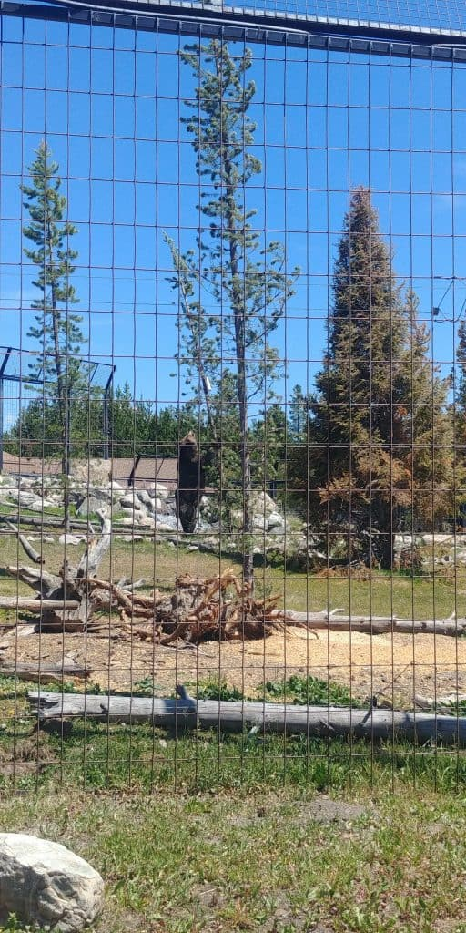 grizzly pulling down tree on our visit to grizzly and wolf discovery center