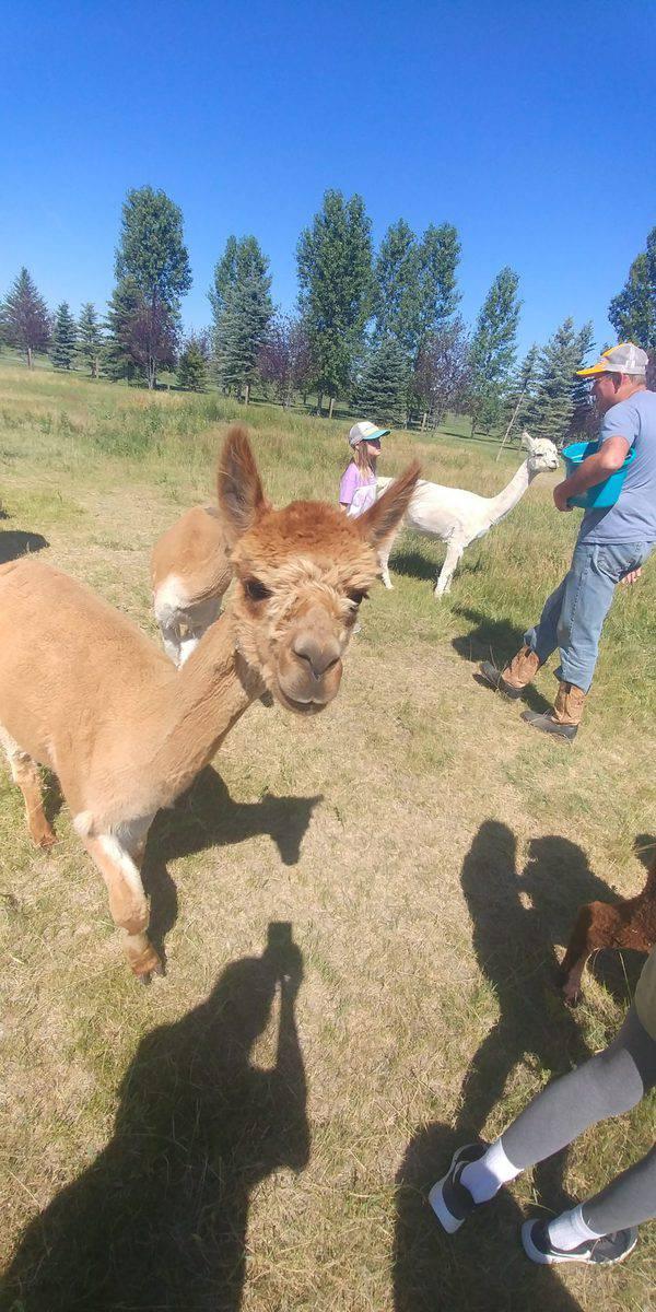 alpaca at sentinel