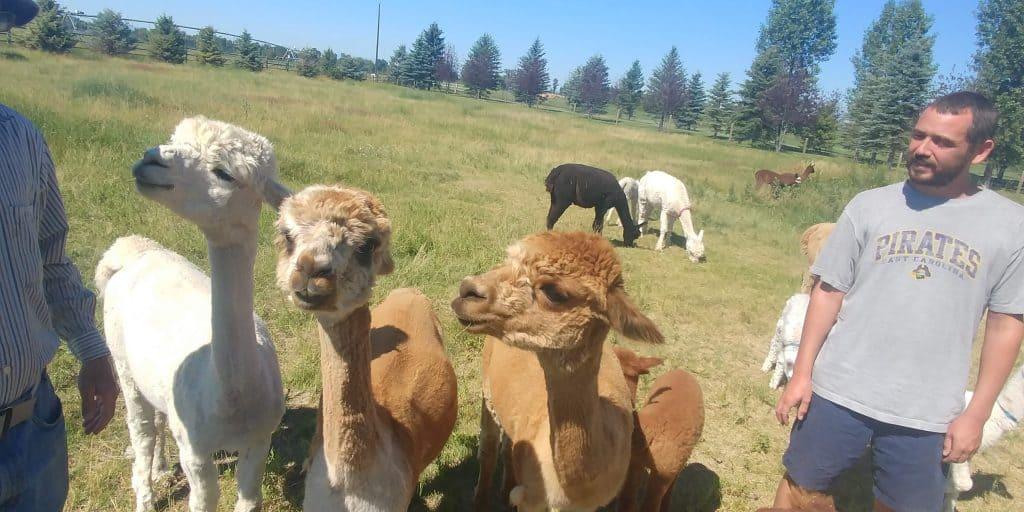 alpacas at sentinel alpaca farm in bozeman