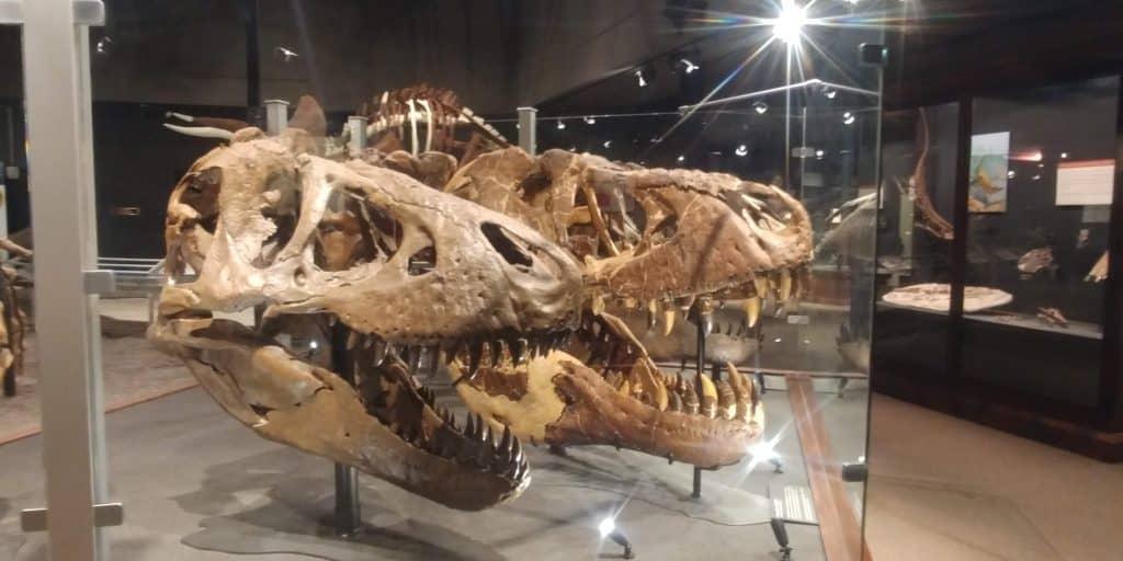 dinosaur fossils at museum of rockies in bozeman