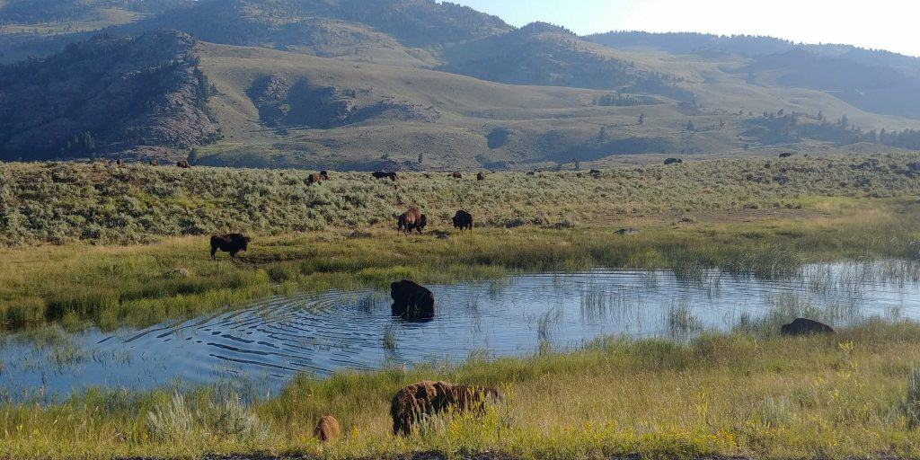 bison herd in water in yellowstone