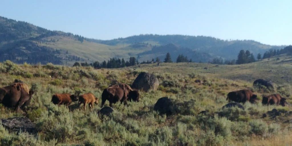 bison herd in lamar valley yellowstone