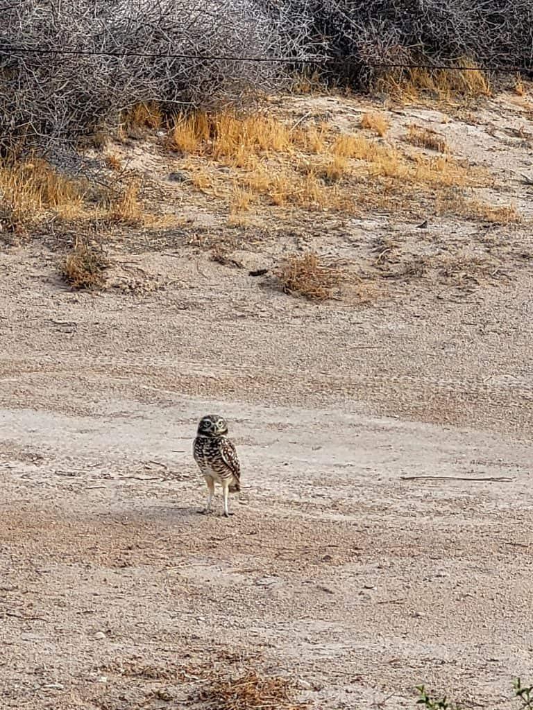 north pygmy owl on grand island at lake havasu arizona