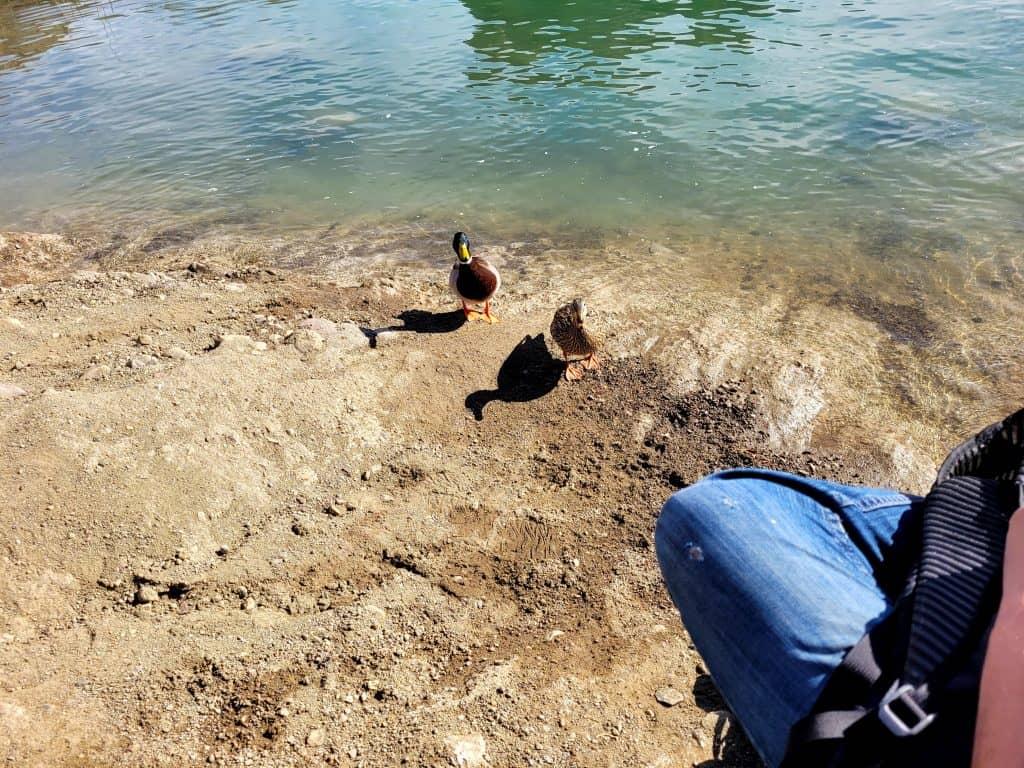 ducks at lake havasu