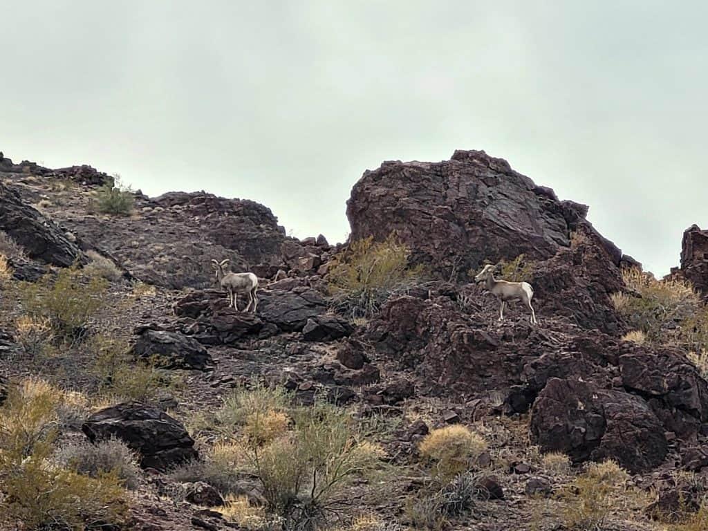 bighorn sheep at craggy wash blm near lake havasu arizona