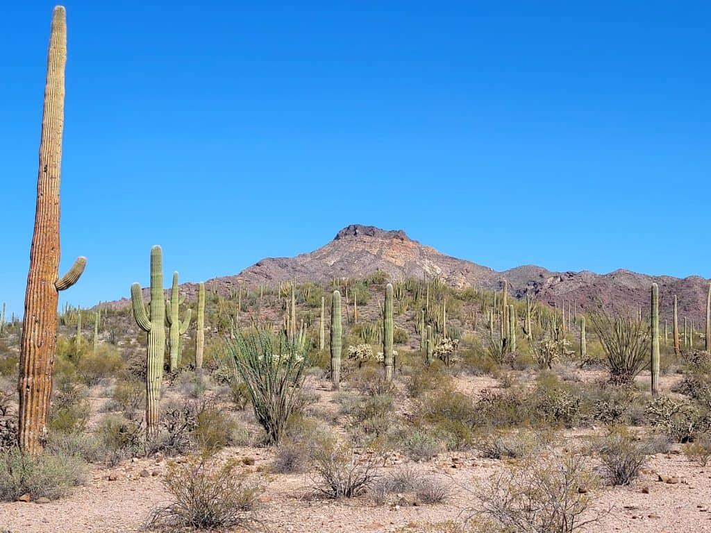 saguaro grove at organ pipe national monument