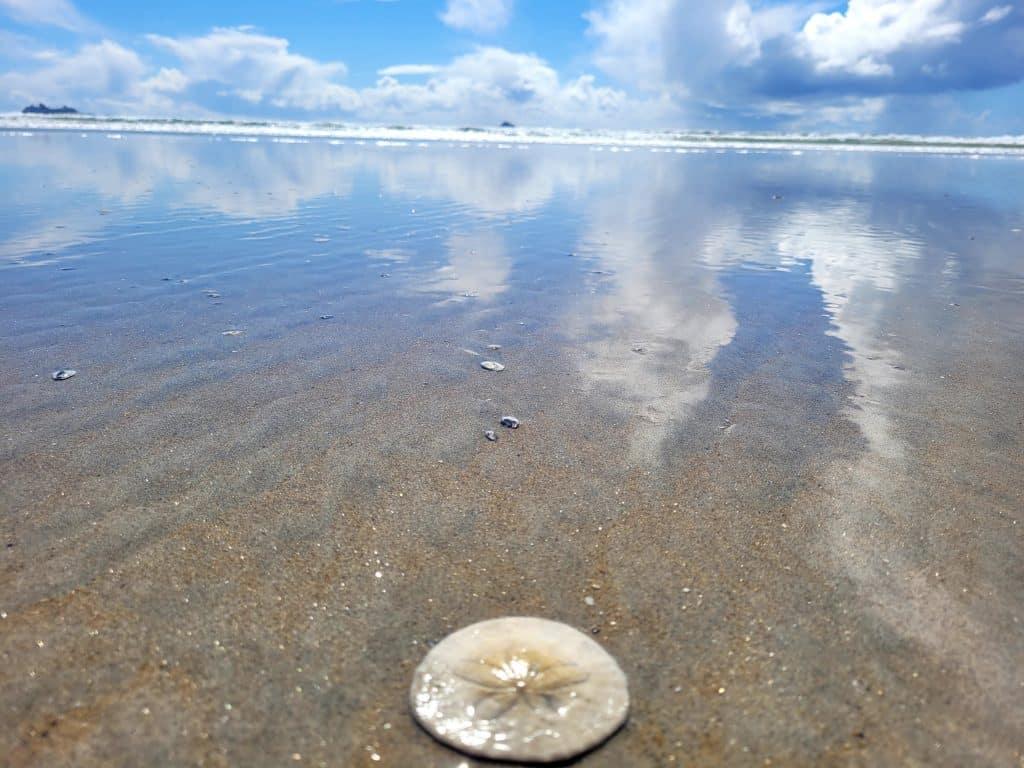 sanddollar on coronado beach