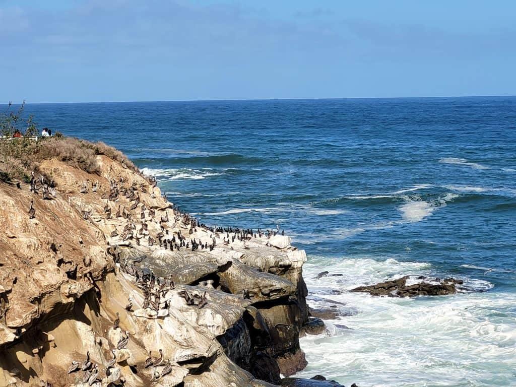 pelicans nesting in la jolla