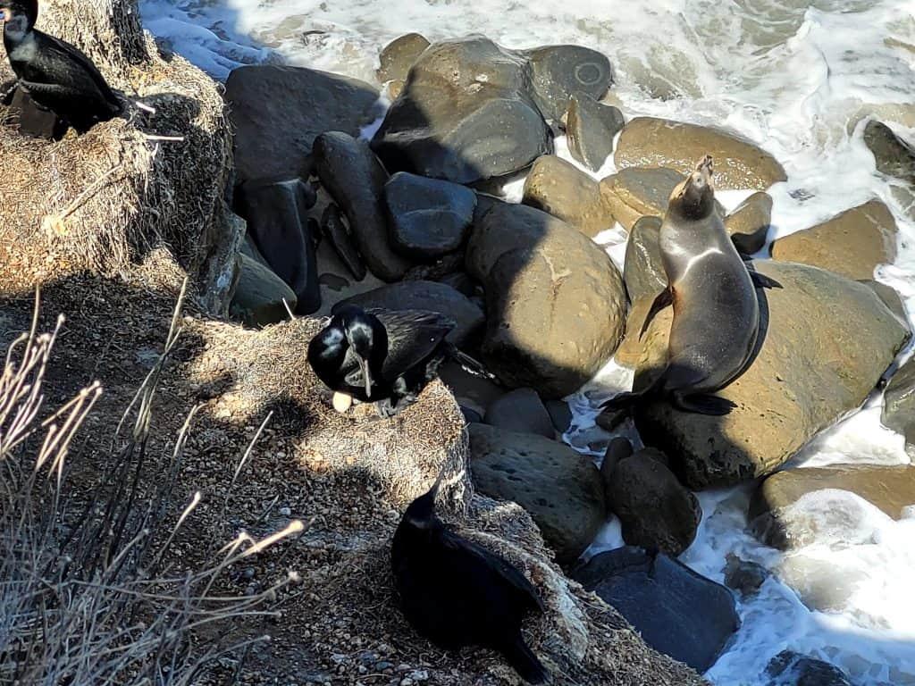 nesting bird and sea lion in la jolla