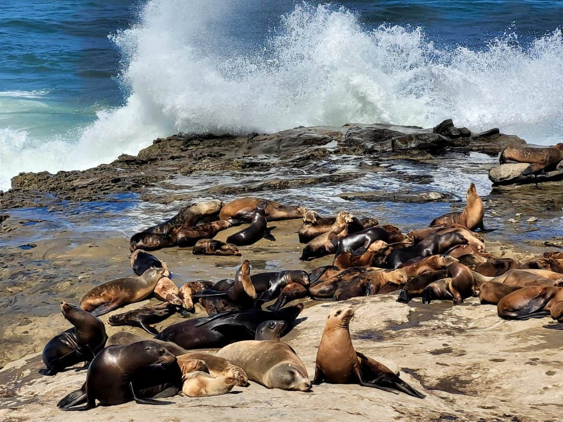 sea lions with waves crashing in la jolla