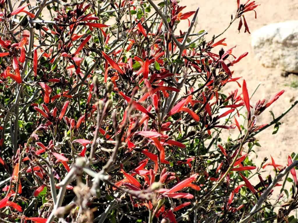 desert flowers in california