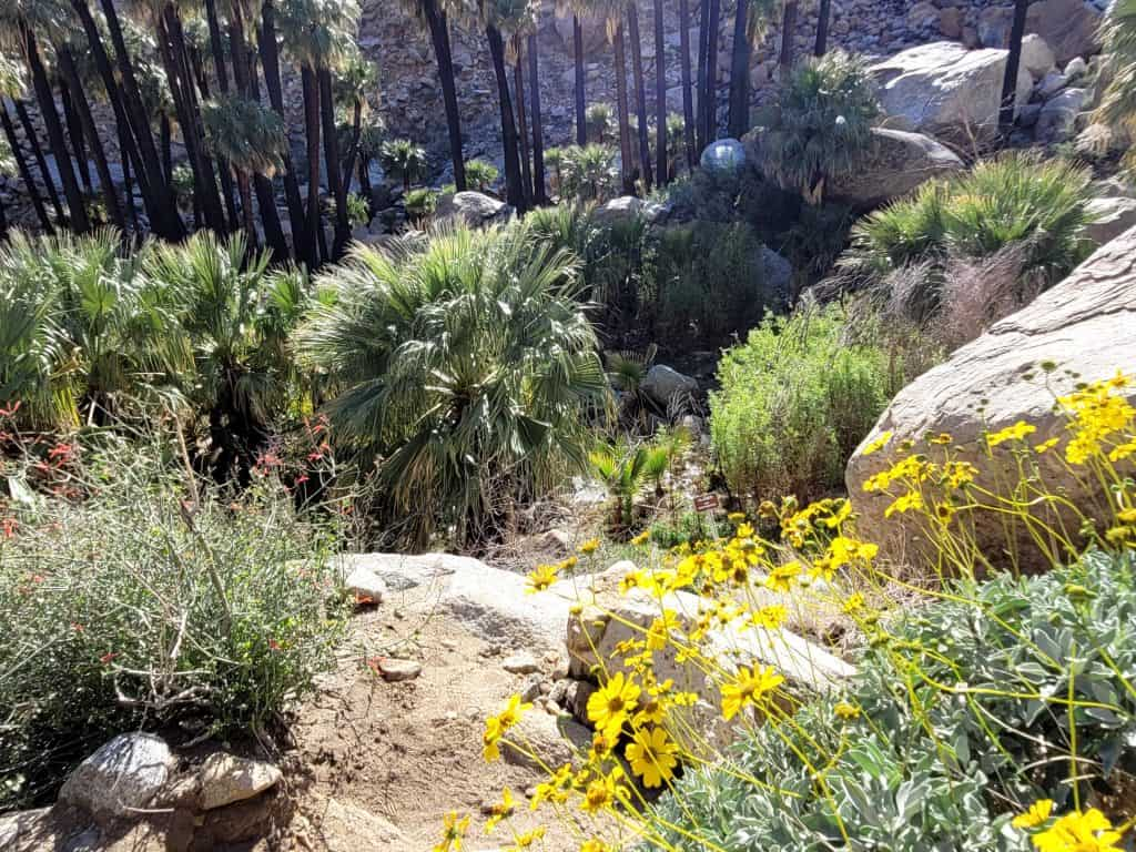 wildflowers at borrego palm canyon