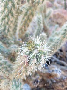 chainfruit cholla cactus in california desert