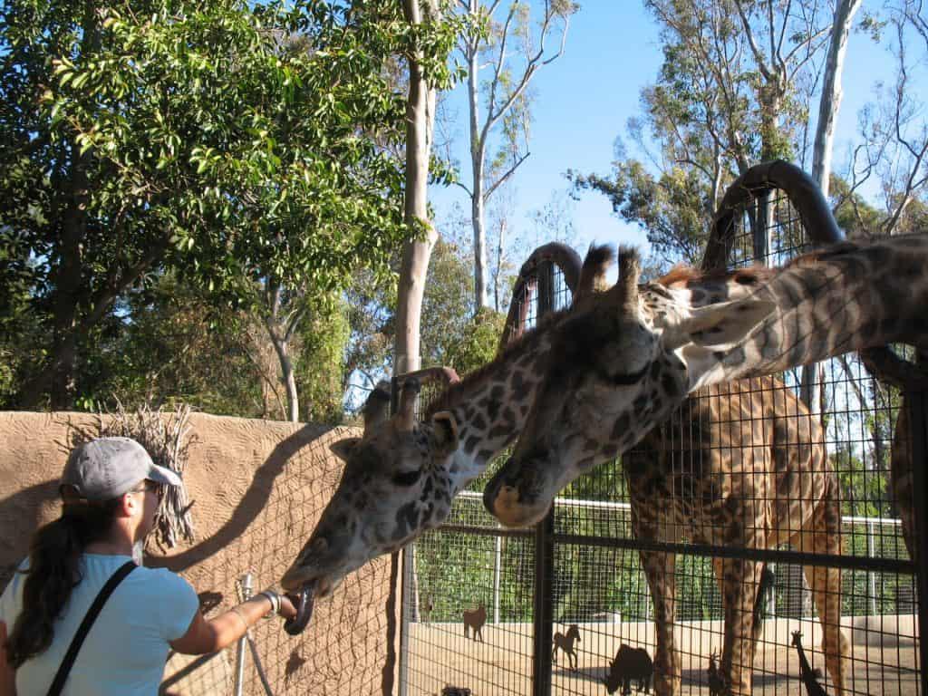 kara feeding giraffe at san diego zoo