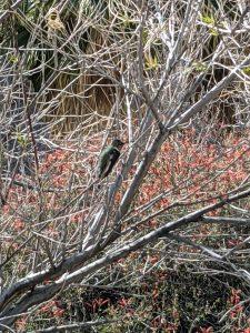 hummingbird at anza borrego