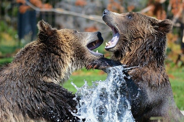 grizzlies by steppinstars on Pixaby
