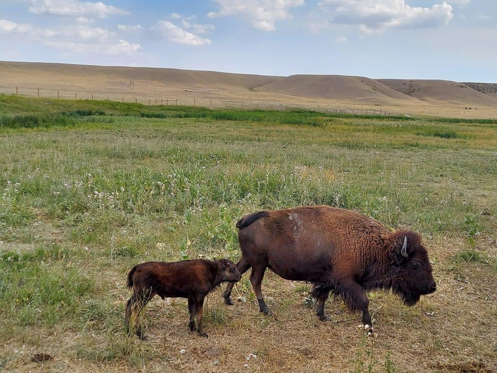 mom and baby bison at Terry Bison ranch in cheyenne wyoming