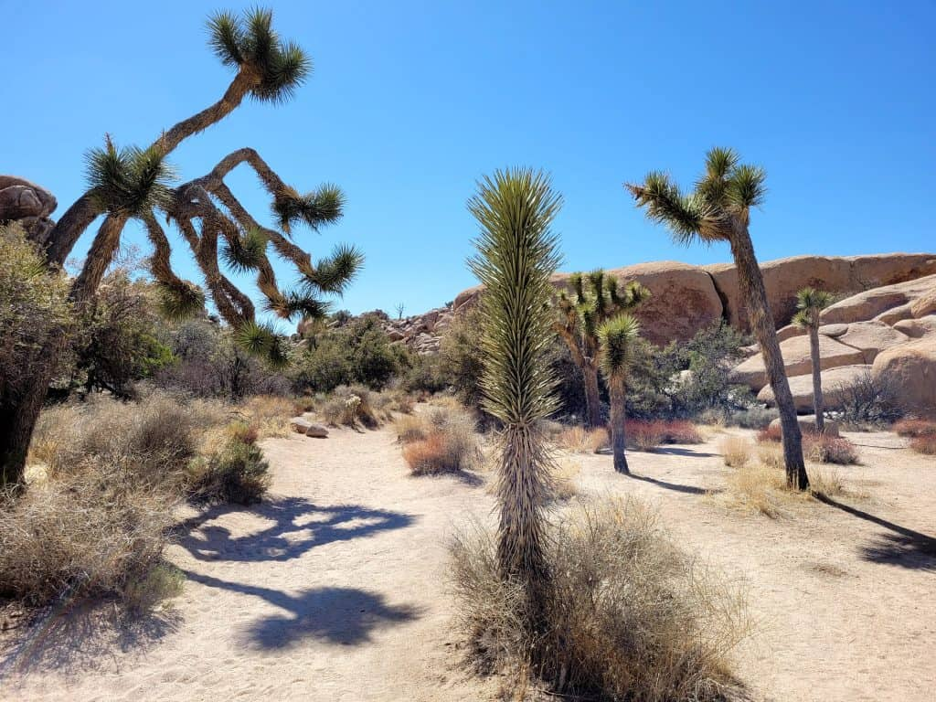 desert view include cactus at joshua tree national park