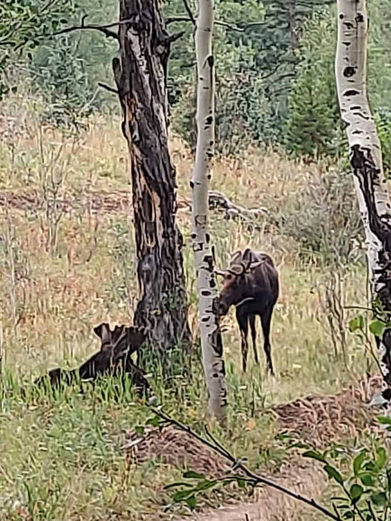 moose along trail at golden gate canyon state park