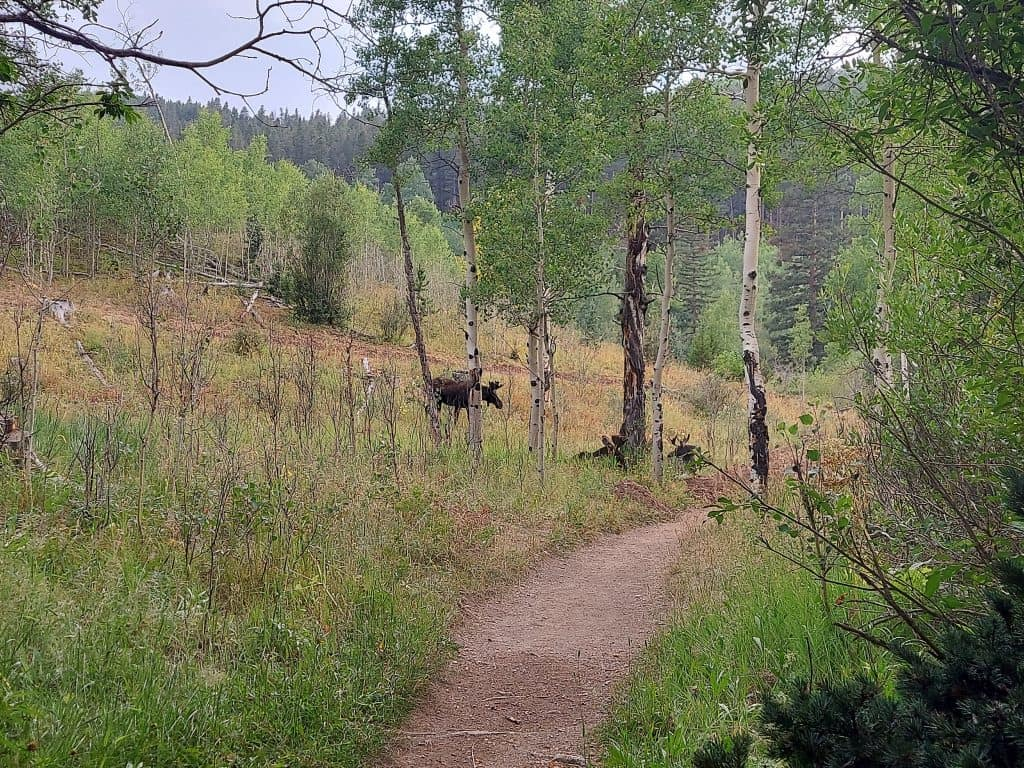 moose beside the snowshoe hare hiking trail at golden gate canyon