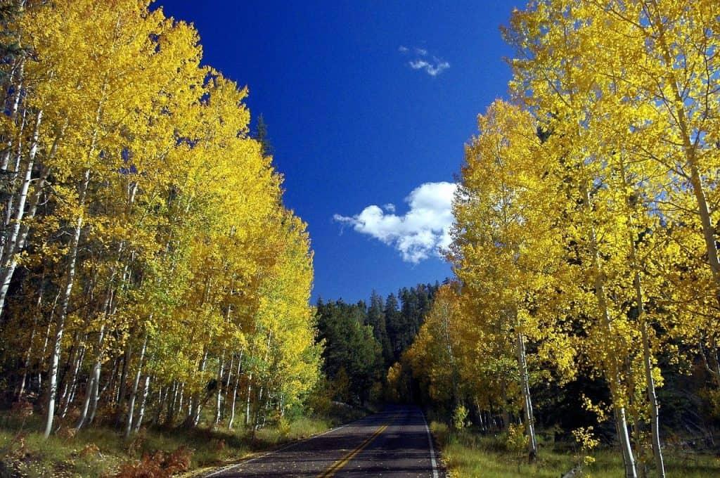 yellow aspen trees along roadside